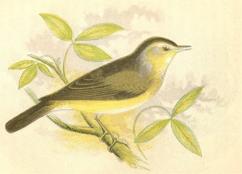 Associate Product BIRDS. Garden Warbler (Anne Pratt) 1852 old antique vintage print picture