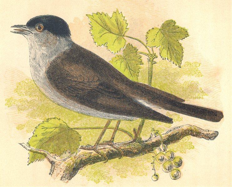 BIRDS. Blackcap (Anne Pratt) 1852 old antique vintage print picture