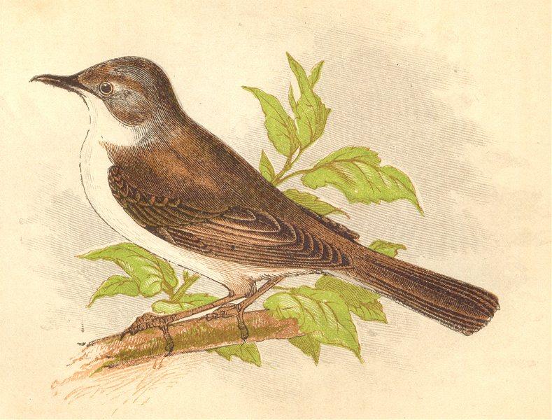 Associate Product BIRDS. Whitethroat (Anne Pratt) 1852 old antique vintage print picture