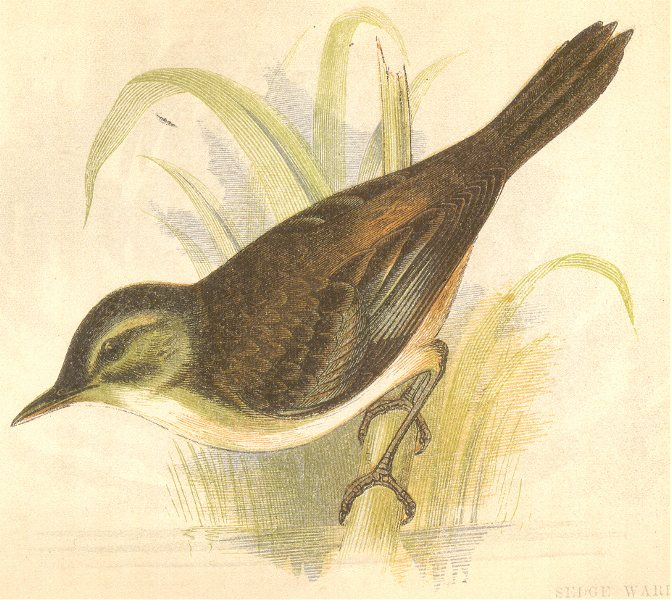 Associate Product BIRDS. Sedge Warbler (Anne Pratt) 1852 old antique vintage print picture