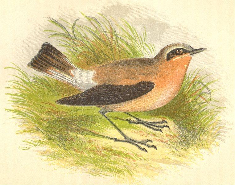 Associate Product BIRDS. Wheatear (Anne Pratt) 1852 old antique vintage print picture