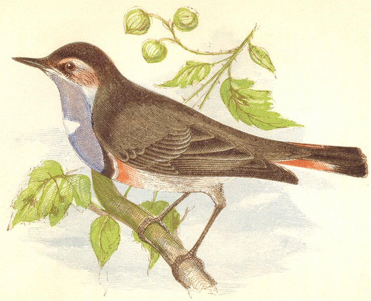 Associate Product BIRDS. Blue- Throated Marbler (Anne Pratt) 1852 old antique print picture
