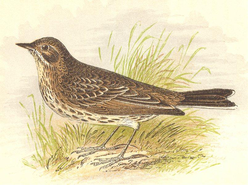 Associate Product BIRDS. Meadow Pipit (Anne Pratt) 1852 old antique vintage print picture