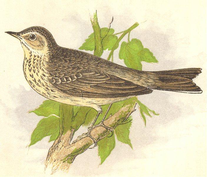 Associate Product BIRDS. Tree Pipit (Anne Pratt) 1852 old antique vintage print picture