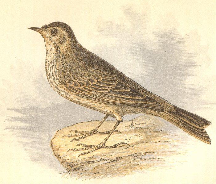 BIRDS. Rock Pipit (Anne Pratt) 1852 old antique vintage print picture