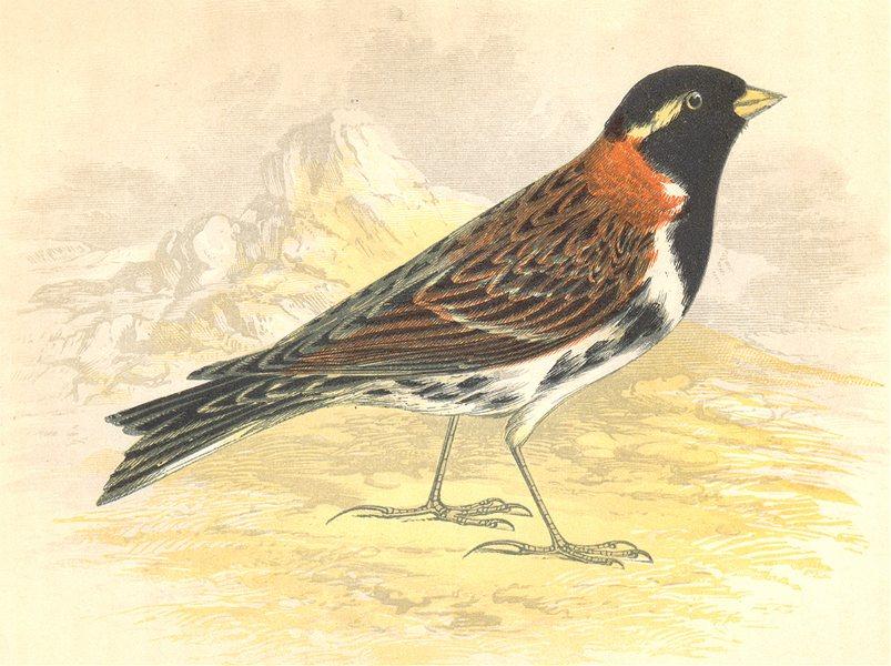 Associate Product BIRDS. Lapland Bunting (Anne Pratt) 1852 old antique vintage print picture