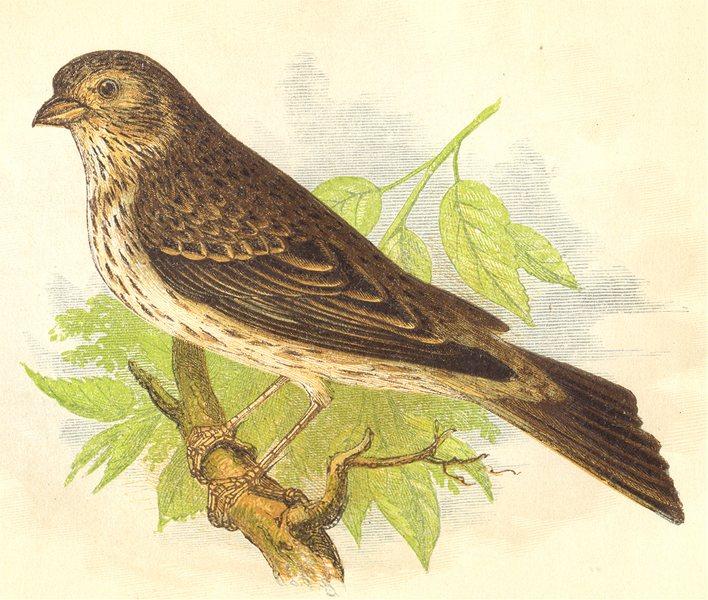 Associate Product BIRDS. Corn Bunting (Anne Pratt) 1852 old antique vintage print picture