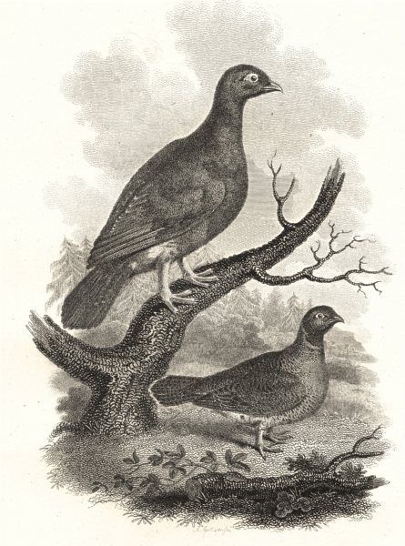 Associate Product BIRDS. Wood Grouse. Rural Sports 1812 old antique vintage print picture