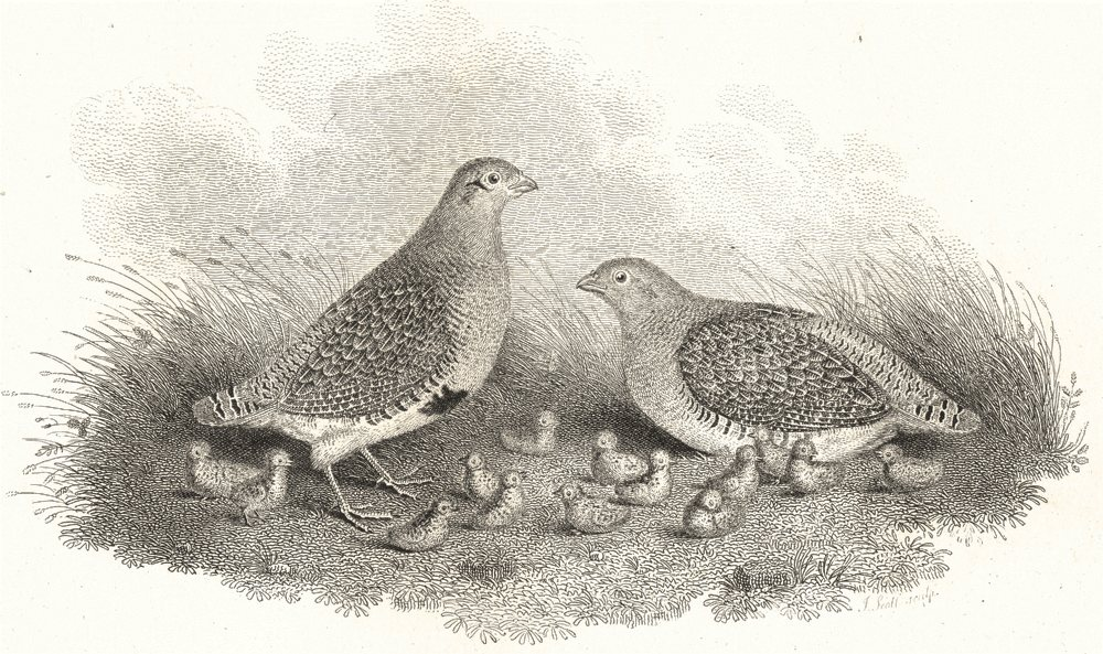Associate Product BIRDS. Partridges. With their young. Rural Sports 1812 old antique print