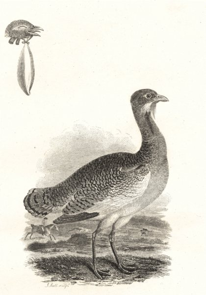 Associate Product BIRDS. Bustard. Rural Sports 1812 old antique vintage print picture
