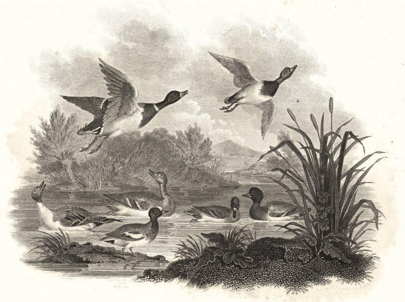 Associate Product BIRDS. Wild Fowl. Wild Ducks. Pintail. Rural Sports 1812 old antique print