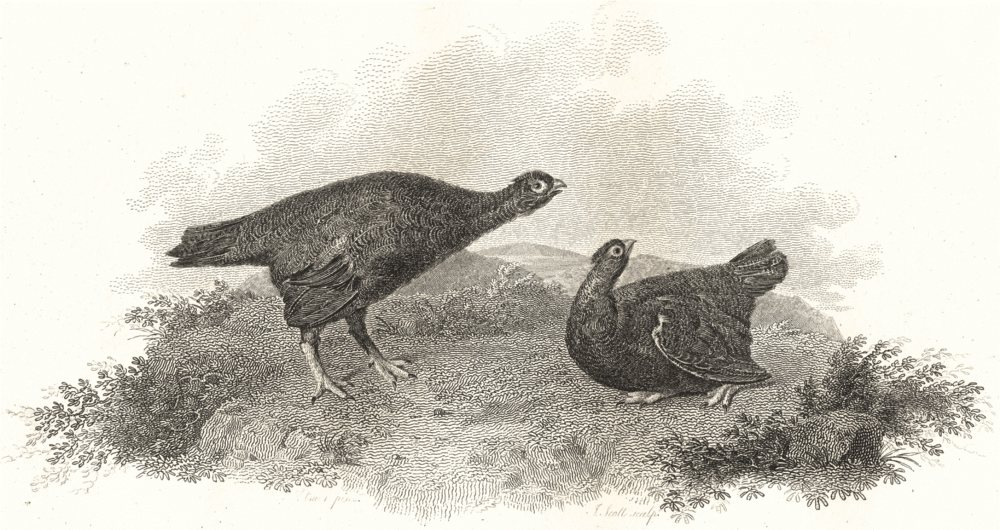 BIRDS. Red Grouse. Rural Sports 1812 old antique vintage print picture