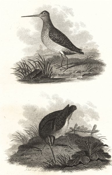 Associate Product BIRDS. Great Lancashire & Common Snipe. Rural Sports  1812 old antique print