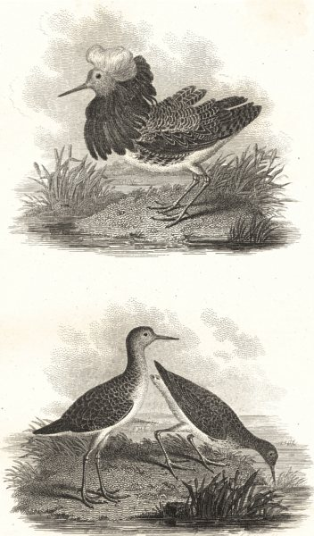 Associate Product BIRDS. Ruffs and Reeve. Rural Sports 1812 old antique vintage print picture
