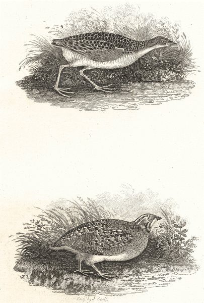 Associate Product BIRDS. The Corn Crake & Quail. Land Rail Daker Hen. Rural Sports.  1812 print