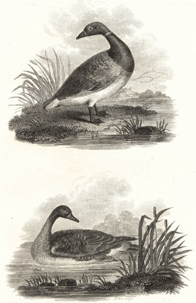 Associate Product BIRDS. Grey and Black Goose. Rural Sports. Black Goose; Grey Goose 1812 print