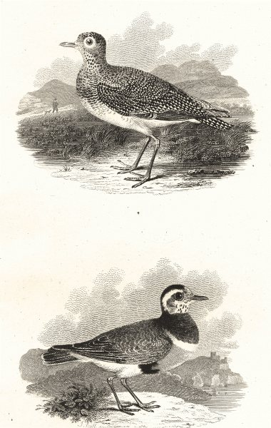 Associate Product BIRDS. Golden Plover and Dotterel. Rural Sports 1812 antique print picture