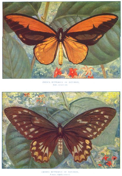 Associate Product BUTTERFLIES. Croesus Male and Female. (Batchian) (Hutchinson) 1927 old print