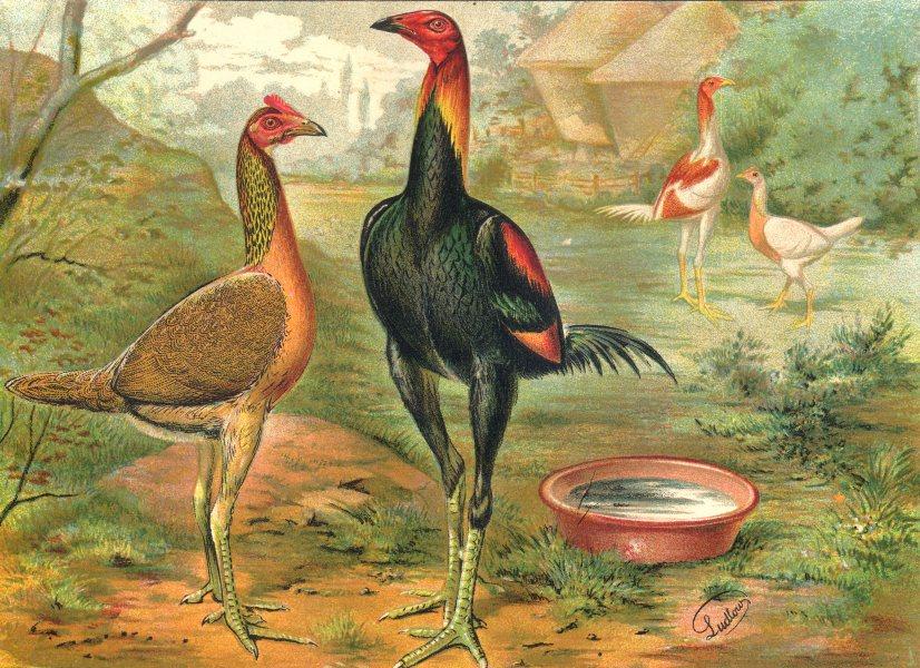 BIRDS. Cockfighting. Colour Chromolithograph. Exhibition Game (Wright) 1900