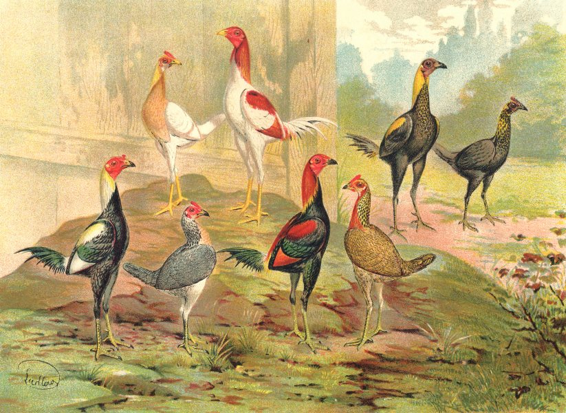 Associate Product BIRDS. Cockfighting. ColourChromolithograph. Game Bantams (Wright) 1900 print
