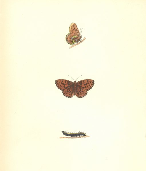 BUTTERFLIES. Pearl Bordered Fritillary (Morris) 1895 old antique print picture