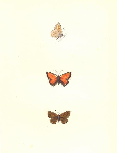 Associate Product BUTTERFLIES. Purple Edged Copper (Morris) 1895 old antique print picture