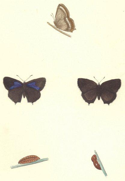Associate Product BUTTERFLIES. Purple Hairstreak (Morris) 1895 old antique vintage print picture