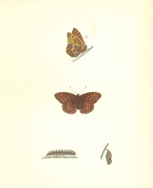 Associate Product BUTTERFLIES. Queen of Spain Fritillary (Morris) 1895 old antique print picture