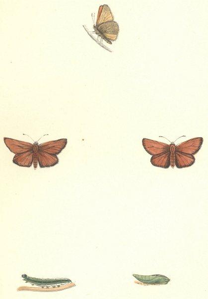 Associate Product BUTTERFLIES. Small Skipper (Morris) 1895 old antique vintage print picture