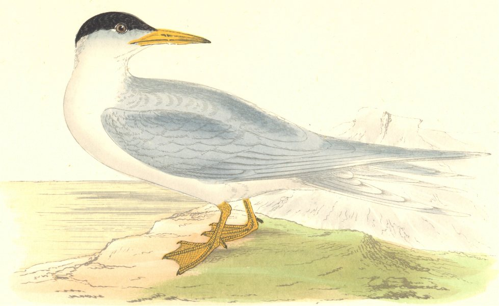 Associate Product BIRDS. Common Tern. Found in Europe. USA. Asia. Africa (Morris) 1880 old print