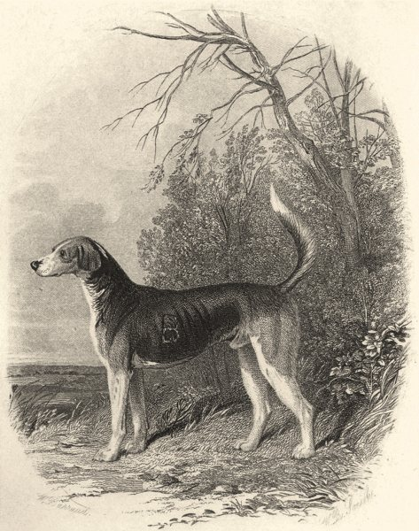 Associate Product DOGS. Fox Hounds (Foxhound) . Vignette (Edward Jesse) 1888 old antique print
