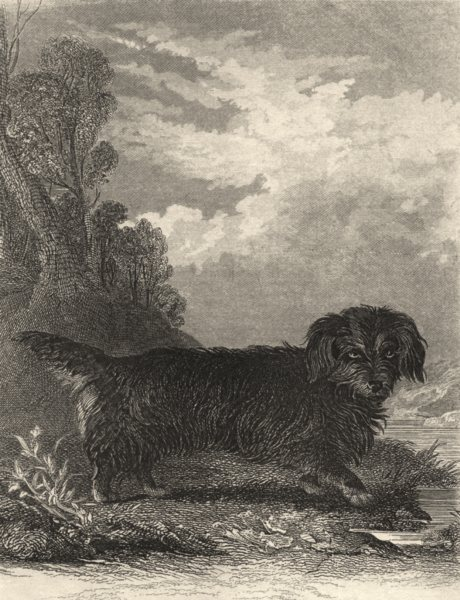 Associate Product DOGS. Otter Terrier. Good steel engraving. (Edward Jesse) 1888 old print