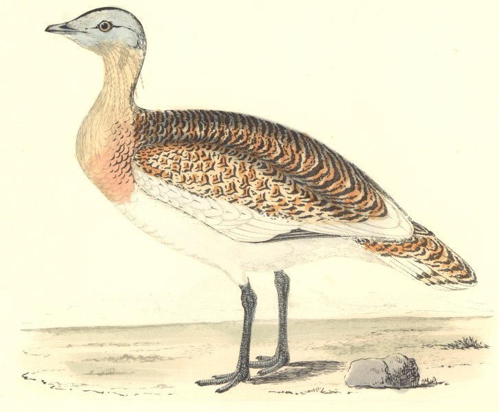Associate Product BIRDS. Great Bustard. Was Found in Europe. Asia (Morris) 1880 old print