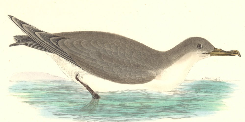Associate Product BIRDS. Cinereous Shearwater. Found in Europe. Africa (Morris) 1880 old print