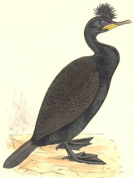 Associate Product BIRDS. Green Cormorant. Found in Europe. USA. Asia (Morris) 1880 old print