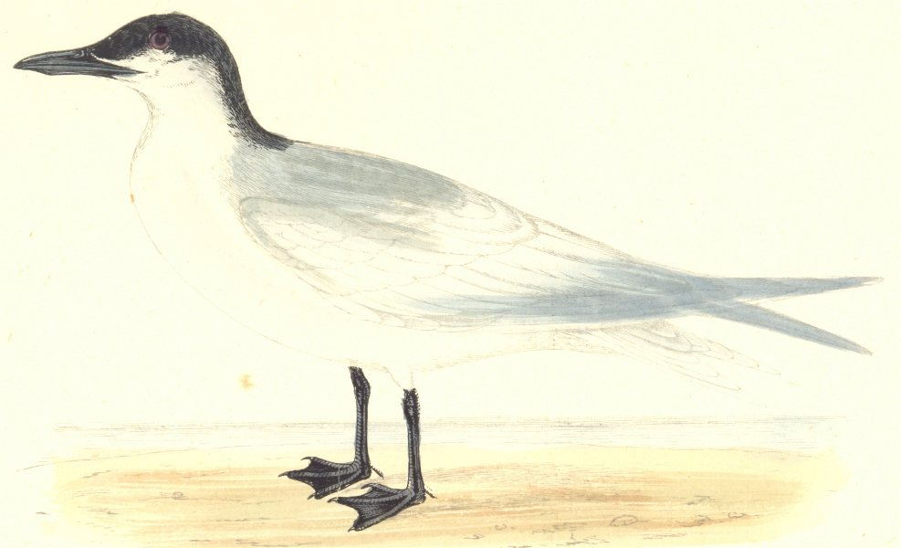Associate Product BIRDS. Gull Billed Tern. Found in Europe. USA. Asia (Morris) 1880 old print