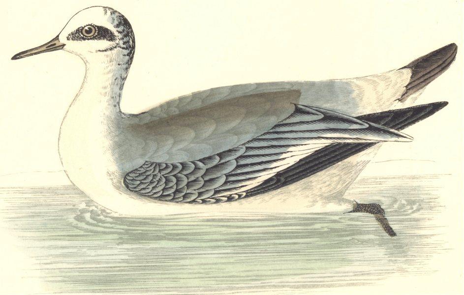 Associate Product BIRDS. Grey Phalarope. Found in Europe. USA. Asia (Morris) 1880 old print