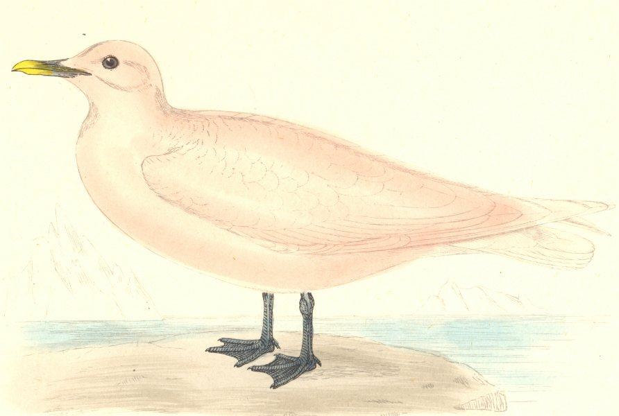 Associate Product BIRDS. Ivory Gull. (Snow Bird) . Found in Europe. USA (Morris) 1880 old print