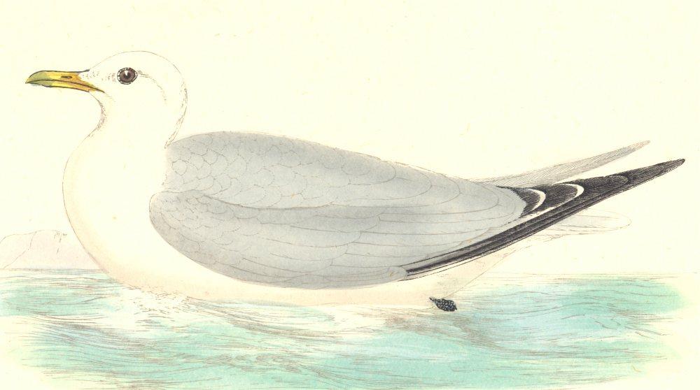 Associate Product BIRDS. Kittiwake. Found in Europe. Africa. Asia (Morris) 1880 old print