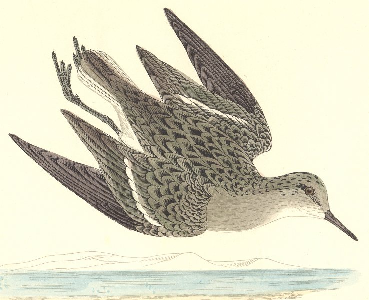 Associate Product BIRDS. Temminck's Stint. Found in Europe. Africa. Asia (Morris) 1865 old print