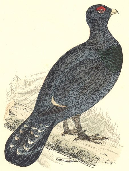 Associate Product BIRDS. Capercaillie. Found in Europe. Esp. Scotland. Asia (Morris) 1880 print