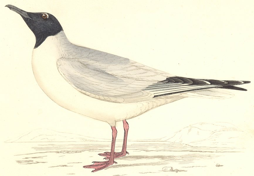 Associate Product BIRDS. Buonaparte's Gull. found in Europe. USA (Morris) 1880 old antique print
