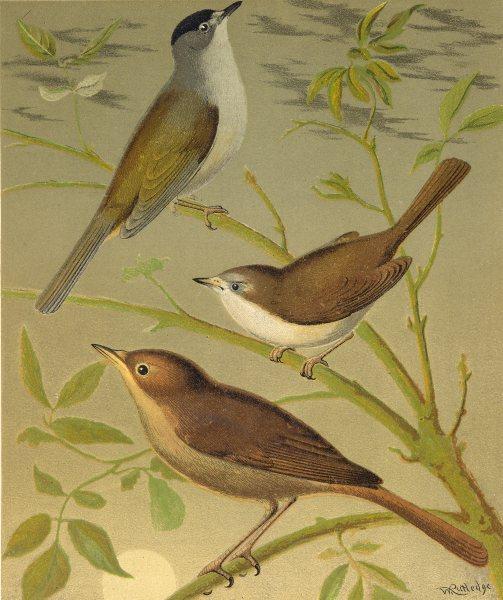 Associate Product CAGE BIRDS. Chromolitho. Black- cap; White- Throat; Nightingale.Blakston 1880