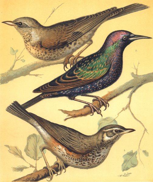 Associate Product CAGE BIRDS. Chromolitho. Fieldfare; Starling; Redwing.Blakston 1880 old print