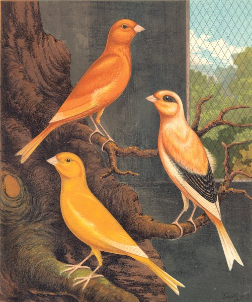 Associate Product NORWICH CANARIES.Clear Yellow(Cayenne-Fed);Evenly-Marked Buff;.Blakston 1880