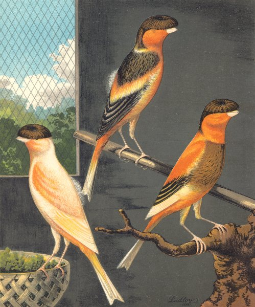 Associate Product NORWICH CANARIES.Dark-Crested Buff(Cayenne-Fed);Variegated Yellow.Blakston 1880