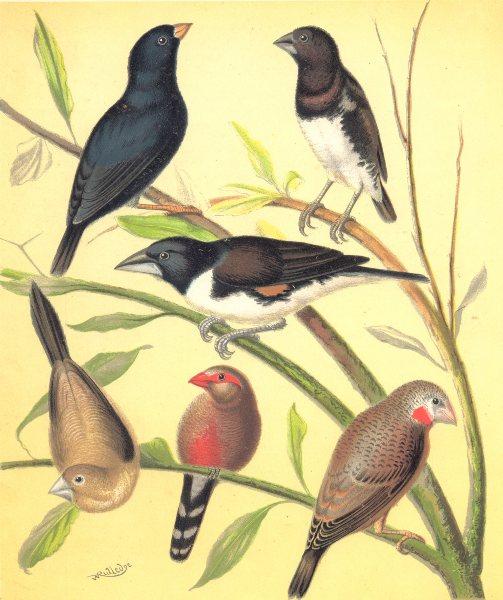 Associate Product FINCHES.Combassou,Steel,Red Grass Finch;Bronze Mannikin;St.Helena Waxbill 1880