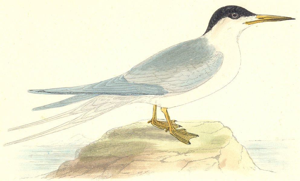 BIRDS. Roseate Tern. Found in Europe. USA. Africa. Asia (Morris) 1880 print