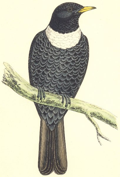 Associate Product BIRDS. Ring Ouzel. Found in Europe. Africa. Asia (Morris) 1880 old print