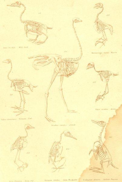 Associate Product BIRDS. Skeletons. Duck; Maccan; Fowl; Ostrich; Merlin; Barn Owl; Woodpecker 1860